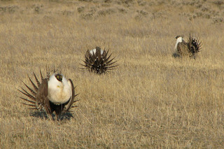 Environmentalists get to join sage grouse fight
