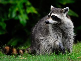 Raccoons recover at zoo after cross-country ride