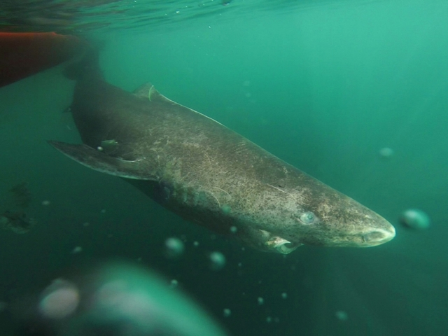 Greenland shark is the longest living vertebrate in the world