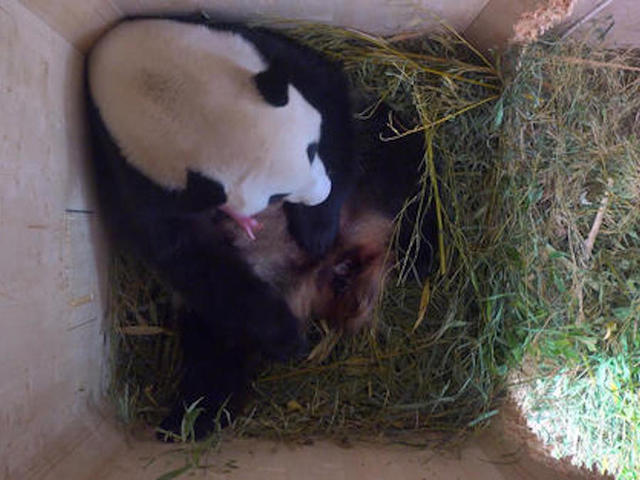Surprise! Giant panda produces twins at Vienna Zoo