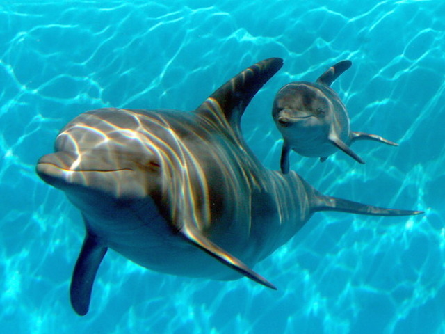 Feds propose ban on swims with Hawaii dolphins — AP NewsBreak