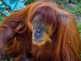 World's oldest known Sumatran orangutan dies
